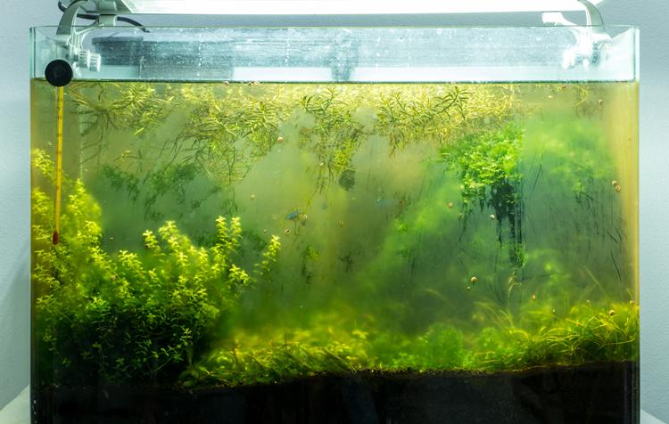 aquário com água verde