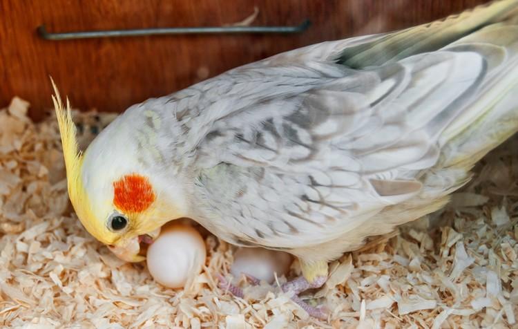 tempo de incubação de calopsitas