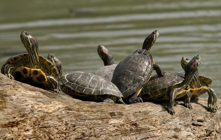 reprodução de tartarugas