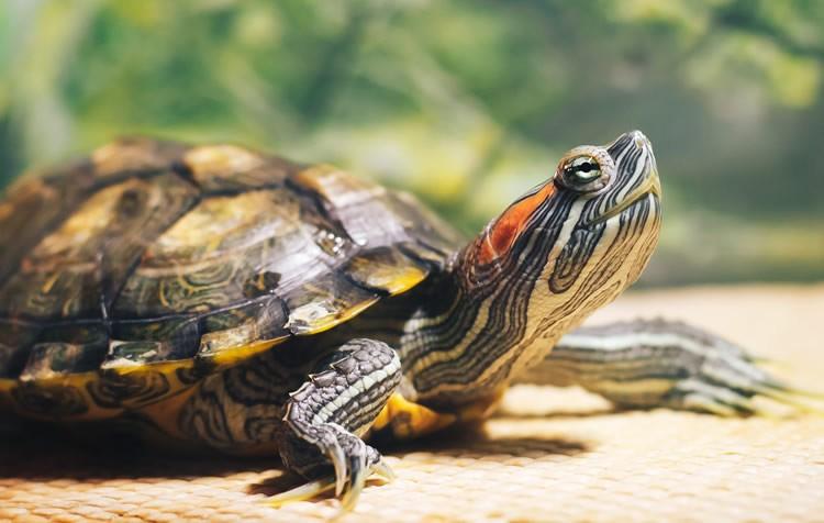 tartarugas dágua e alguns cuidados