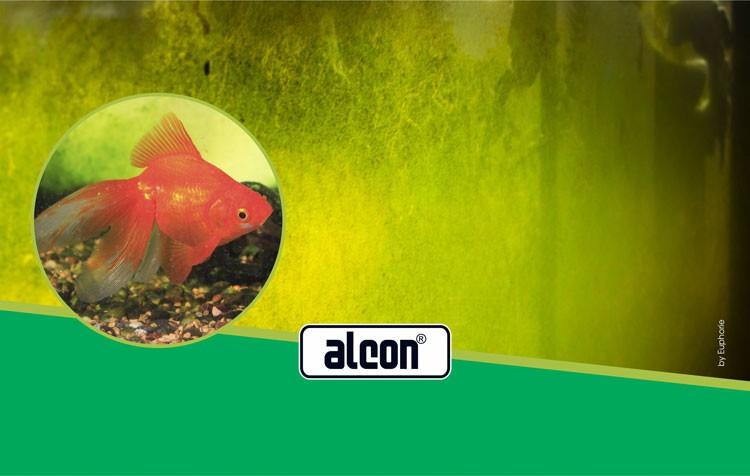algas no aquário