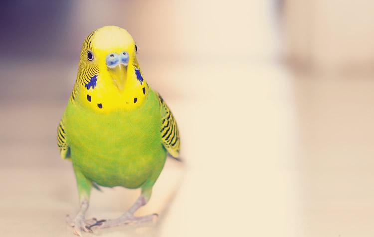 ração engorda as aves