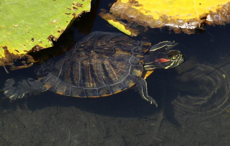 as tartarugas devem ficar só dentro da água?