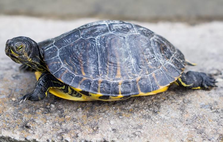 manchas brancas no casco das tartarugas