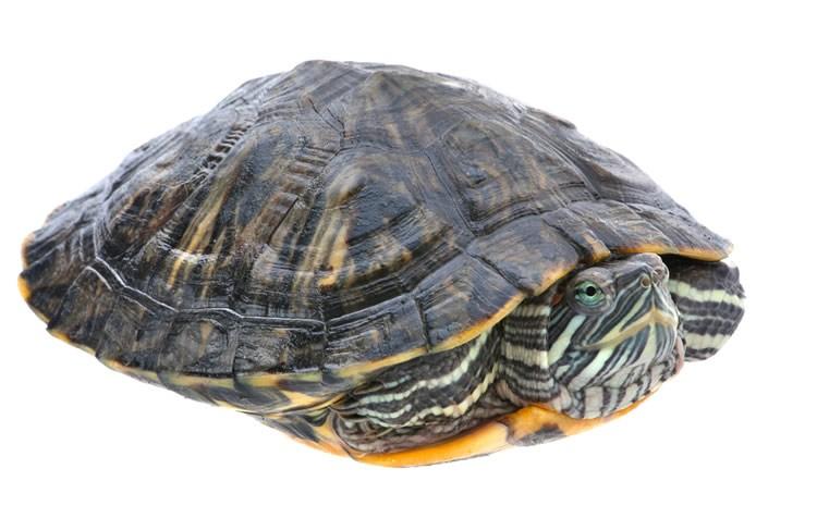 tartaruga não come