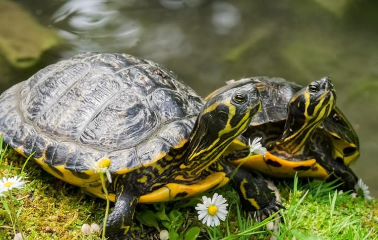 temperatura ideal da água para tartarugas