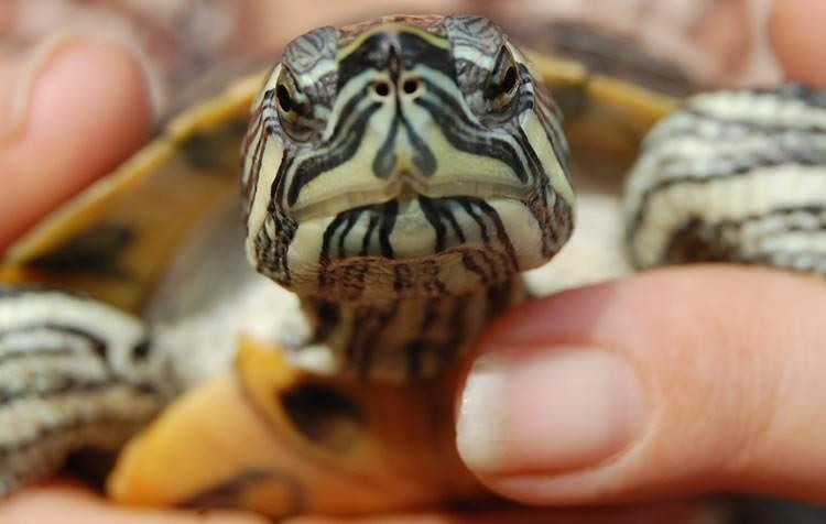 peixe na alimentação de tartarugas