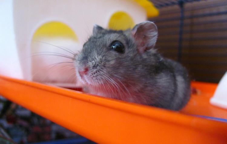 peculiaridades e cuidados na alimentação de roedores de estimação