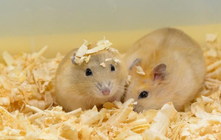 reprodução de roedores e coelhos