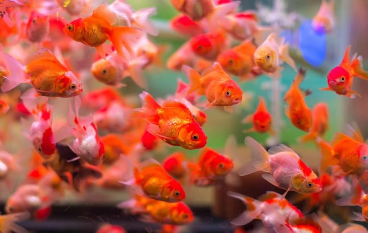 quantos peixes colocar no aquário?
