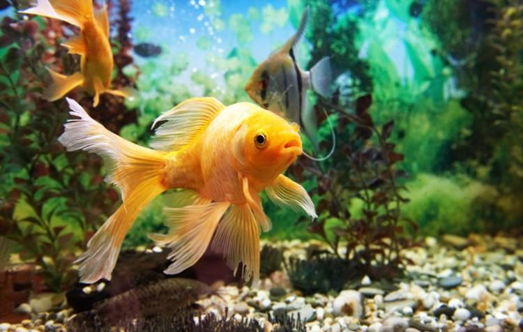 alimentação: cuidado fundamental para saúde dos peixes