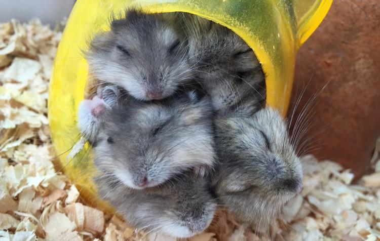 reprodução de hamsters