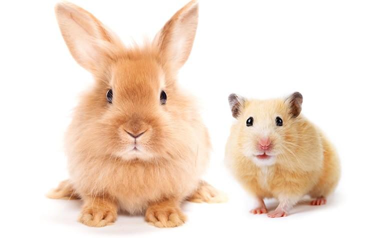 diferença entre roedores e coelhos