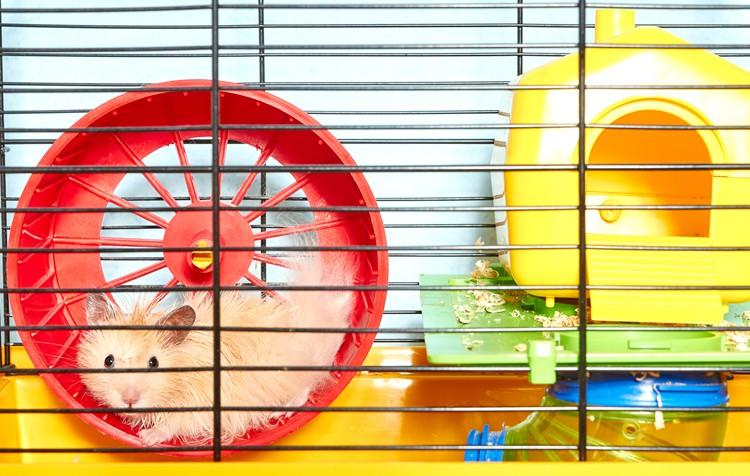 como amansar hamsters
